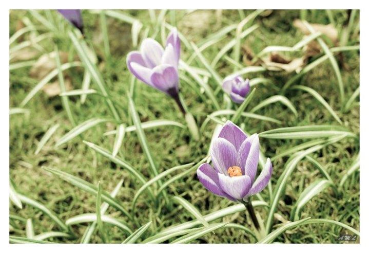 Har du sett en krokus blomstre
